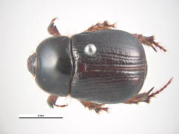 Redheaded pasture cockchafer